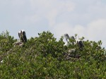 pelicans in tree