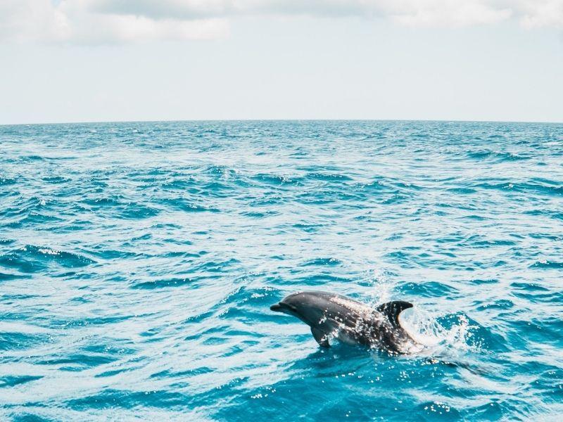 dolphin in ocean swimming