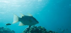 Hogfish in coral reef