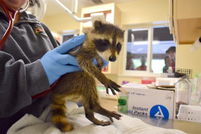 Vet Techs at Clinic for the Rehabilitation of Wildlife treating a baby raccoon.